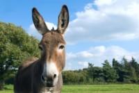 Osioł donkey
